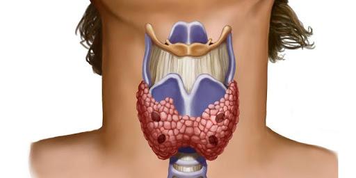 Щитовидка – это небольшая железа, расположенная спереди на шее